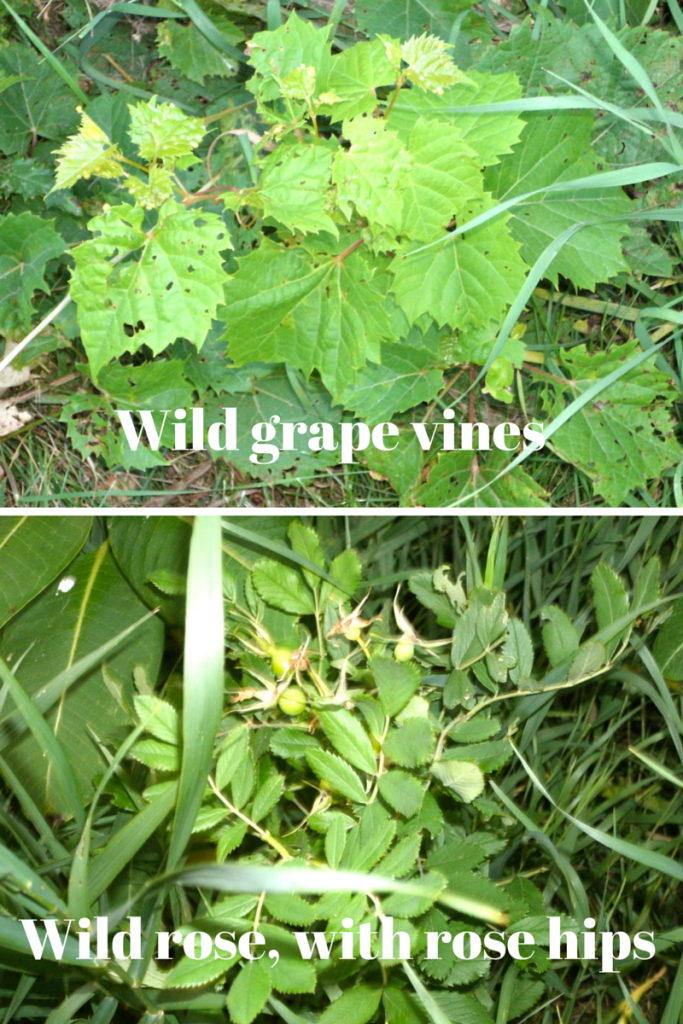 Wild grape vines and wild rose